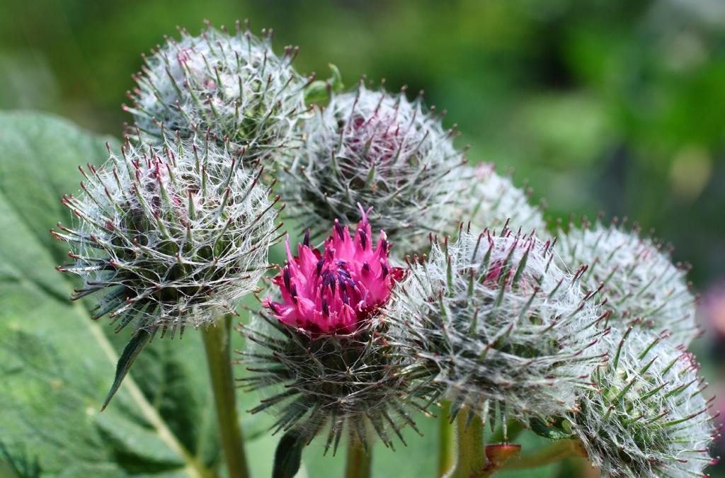 Cure e rimedi naturali con la Bardana