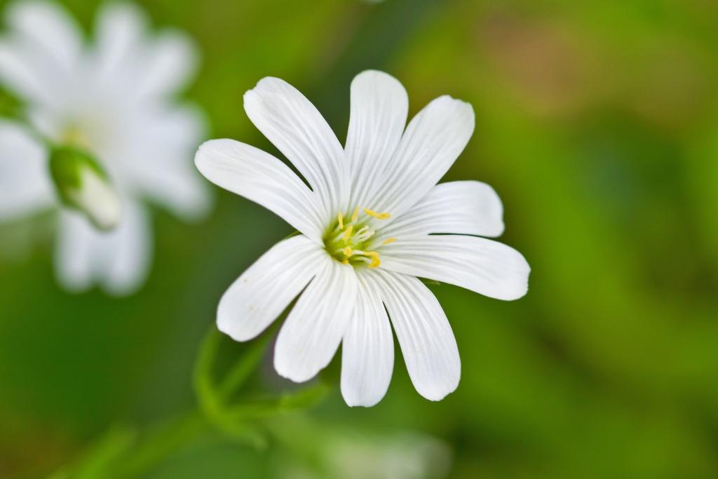 Cure e rimedi naturali con il Centocchio