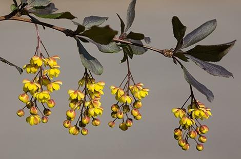 Cure e rimedi naturali con il crespino for Bacche rosse nomi