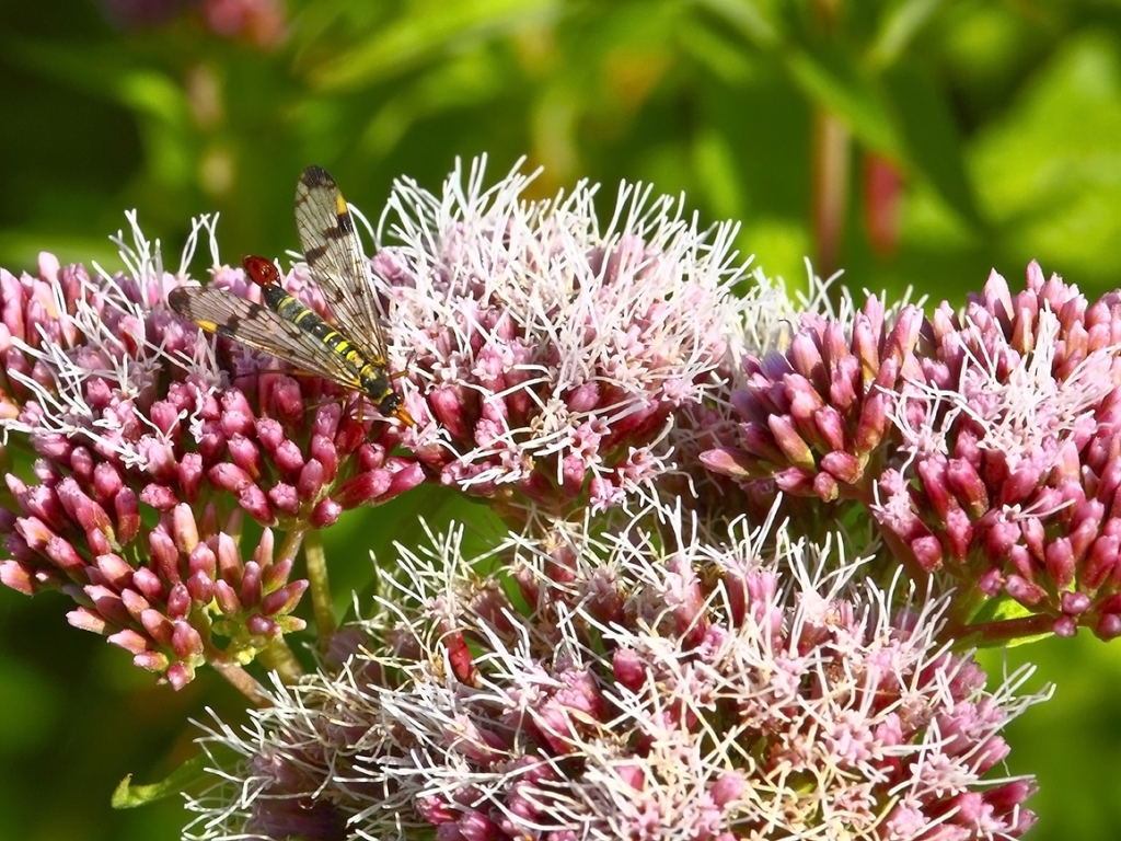 Cure e rimedi naturali con l'Eupatorio