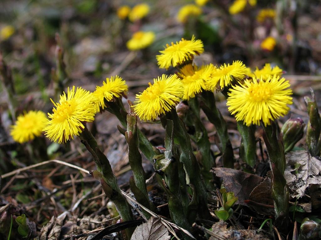 Cure e rimedi naturali con la Farfara