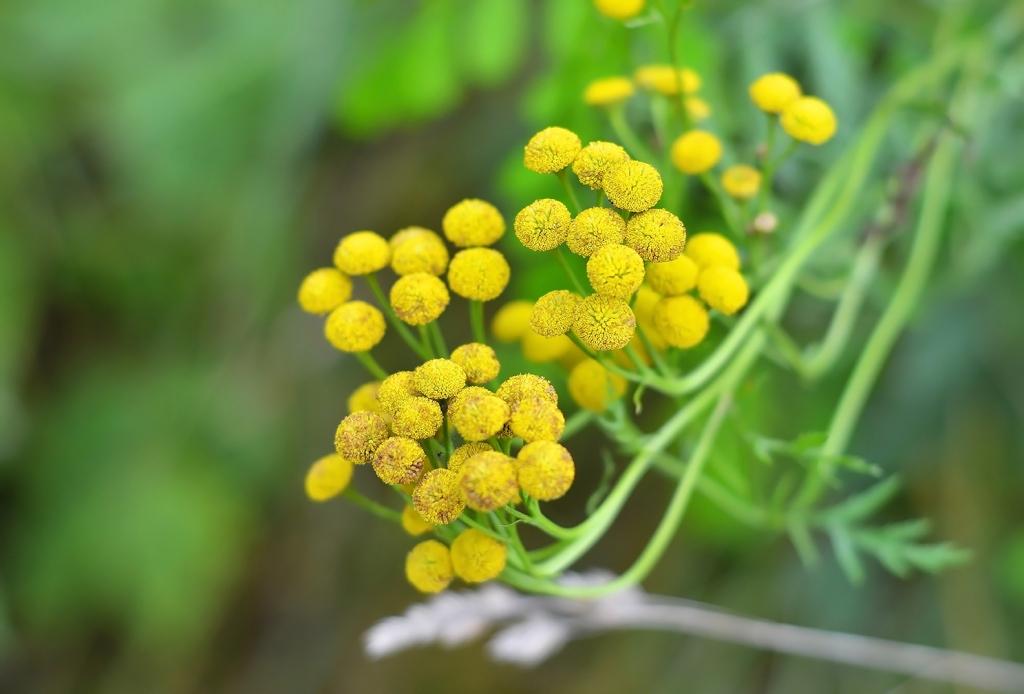 Cure e rimedi naturali con il Genepi