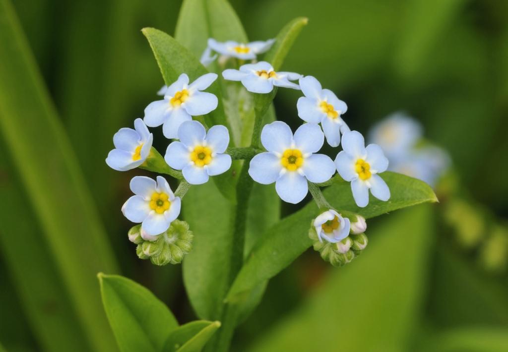 Cure e rimedi naturali con il Nontiscordardimé