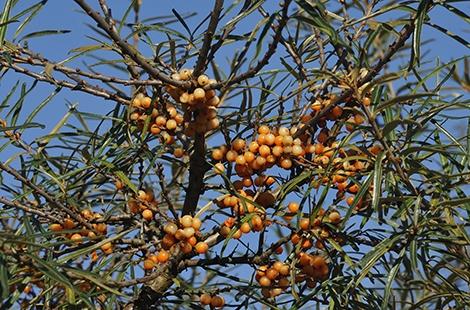 Olivello spinoso