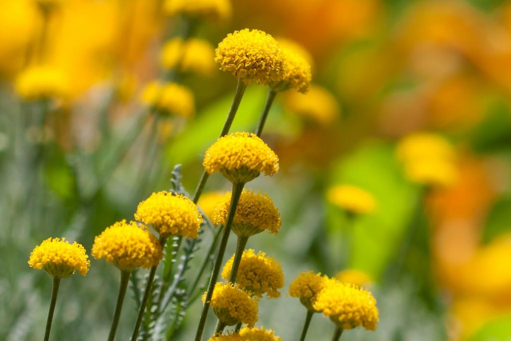 Cure e rimedi naturali con la Santolina