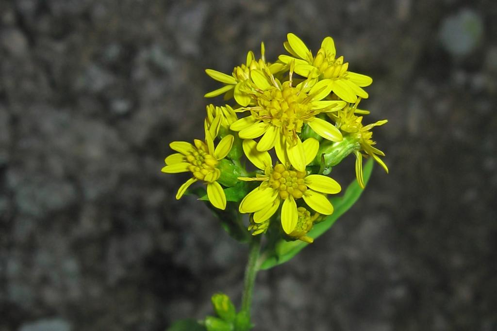 Cure e rimedi naturali con la Verga d'oro