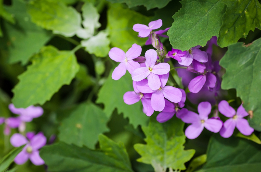 Viola matronale