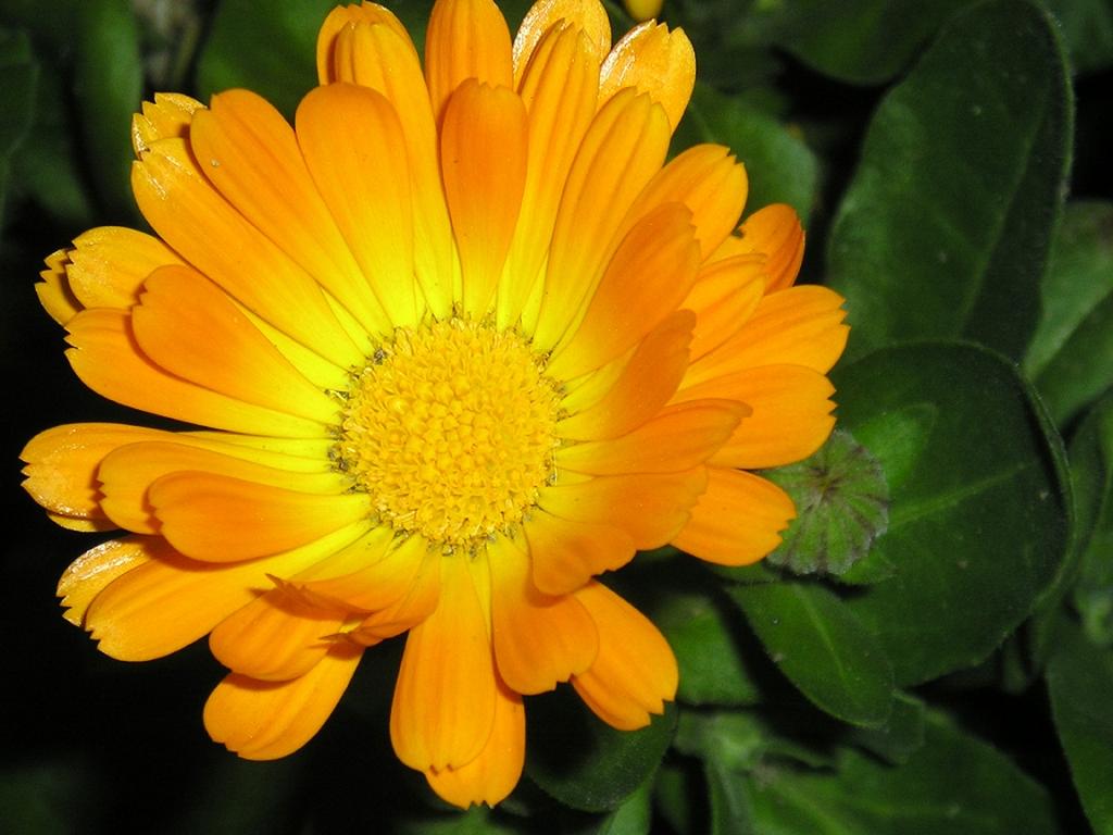 Cure e rimedi naturali con la Calendula