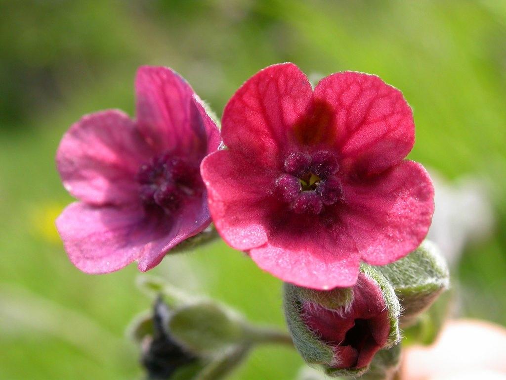 Cure e rimedi naturali con la Cinoglossa